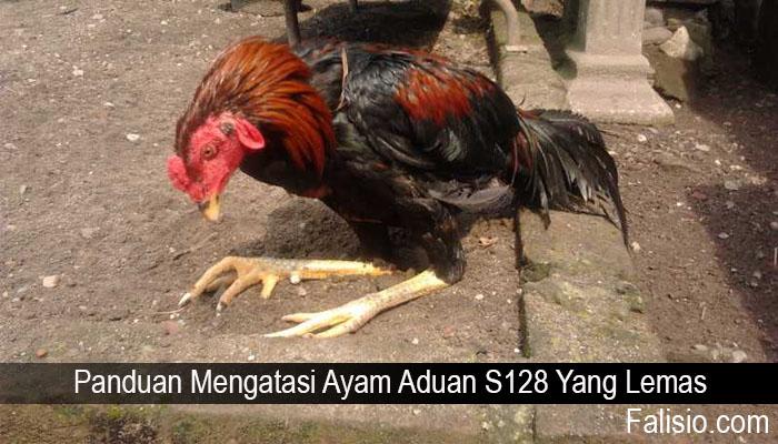 Panduan Mengatasi Ayam Aduan S128 Yang Lemas