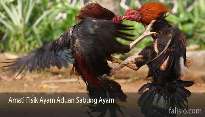 Amati Fisik Ayam Aduan Sabung Ayam